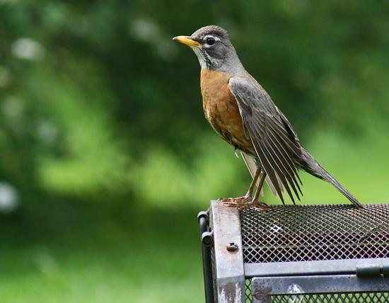 Pretty robin by mittens