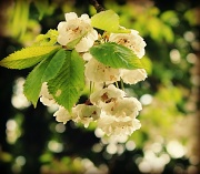 8th May 2012 - Exclusive blossom