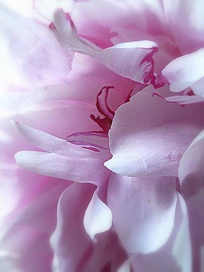 Sarah Bernhardt Peony by calm