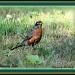 American Robin by vernabeth