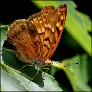 10th May 2012 - Sunlit Tawny Emperor
