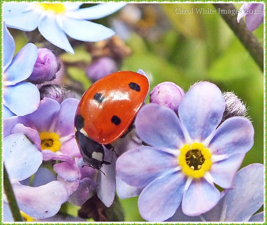 Ladybird and Forget-Me-Not by carolmw