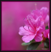 11th May 2012 - Pink Passion