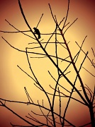 10th May 2012 - good night blackbird