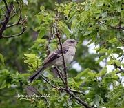 11th May 2012 - Young Mockingbird