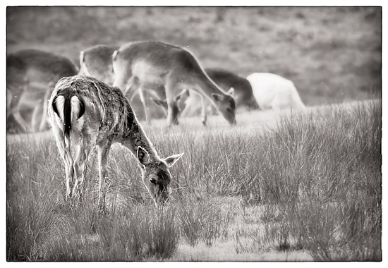 Bolderwood Fallow Deer by humphreyhippo