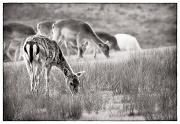 12th May 2012 - Bolderwood Fallow Deer