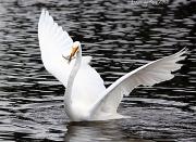 12th May 2012 - Egret fish capture