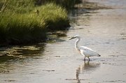 13th May 2012 - An Egret, Possibly