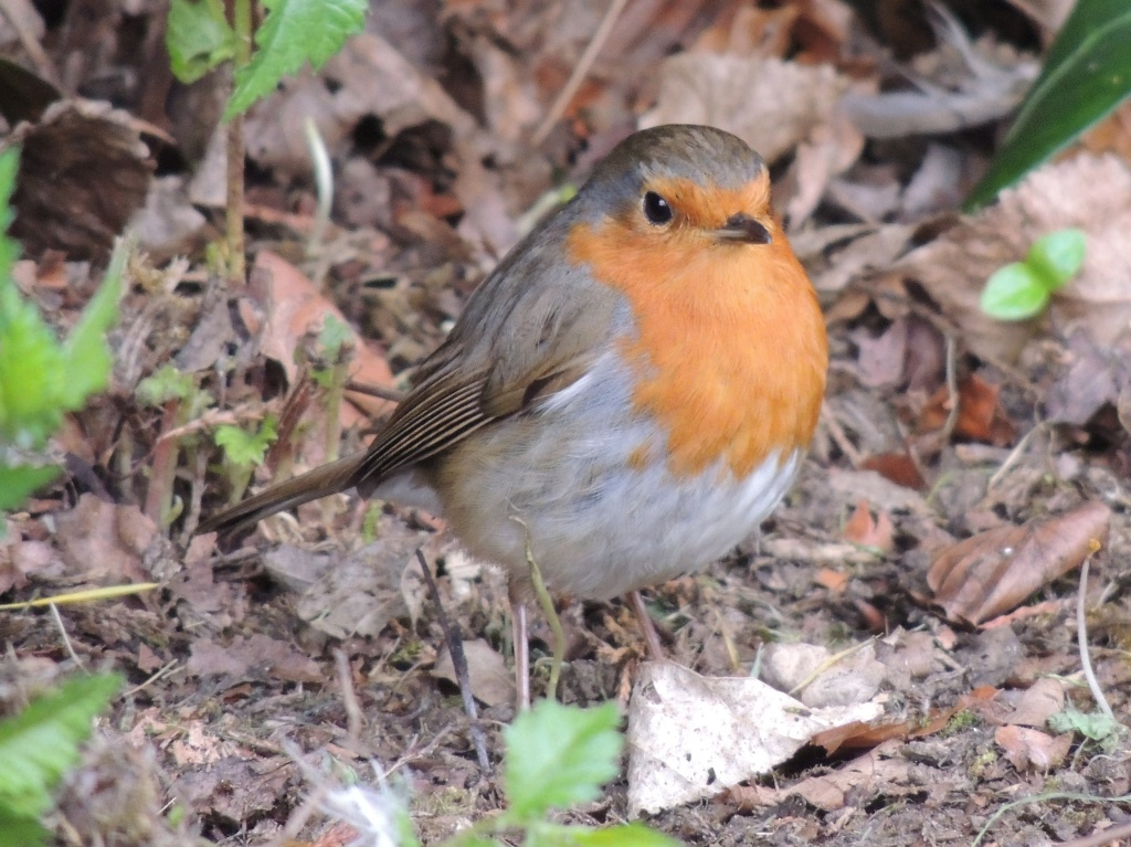 Another robin picture by rosiekind