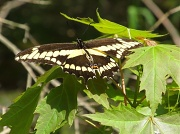 13th May 2012 - Giant Swallowtail