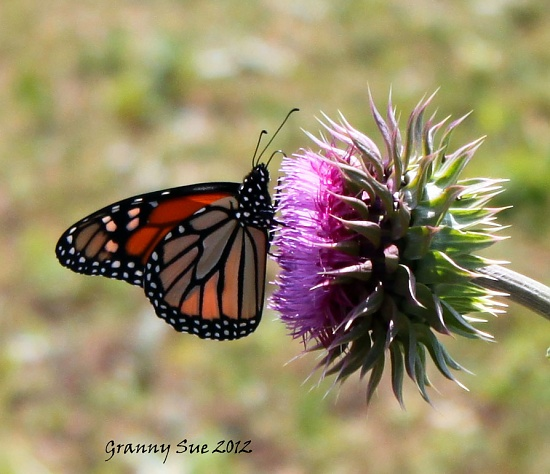 Monarch on Thistle by grannysue