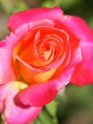 14th May 2012 - Pink Rose