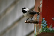 14th May 2012 - Our Other Chickadee Family