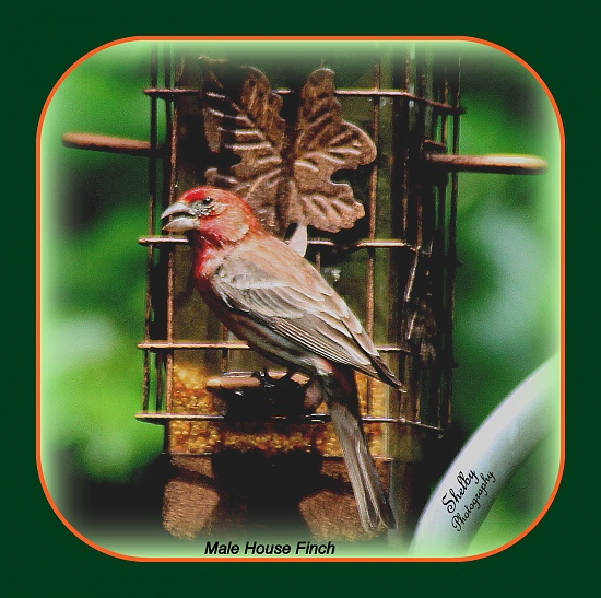 Male House Finch by vernabeth
