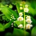 Lily-of-the valley. by snowy