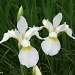 Irises by falcon11