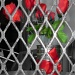 Caged Roses by salza
