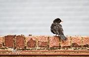 16th May 2012 - Mr Blackbird