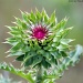 Thistle open by grannysue