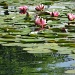 Water lilies: Impressions of Monet by alophoto