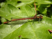18th May 2012 - First dragonfly this year