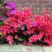 azalea bushes by phil_howcroft