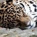 leopard by seanoneill