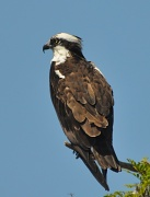 18th May 2012 - Stoic osprey keeping watch
