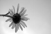 17th May 2012 - Simple Daisy