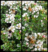 18th May 2012 - Bees
