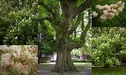 19th May 2012 - Chestnut tree