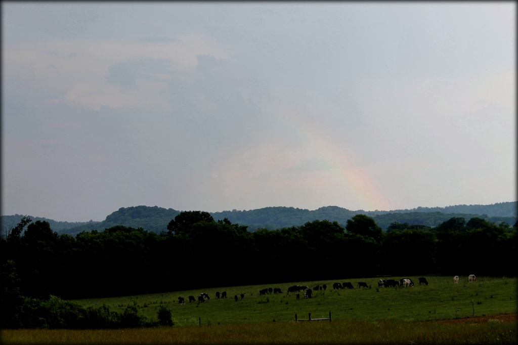 Cows at the end of the rainbow by cjwhite