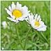 Daisy,Daisy!! by carolmw