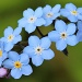 Forget-me-nots by janturnbull