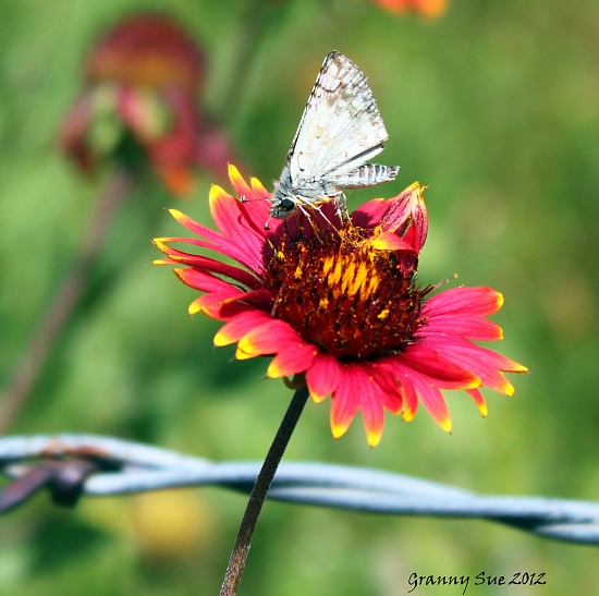 White Skipper on Indian Blanket by grannysue