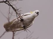 "21st May 2012 - ""Sulphur-Crested Cockatoo"""