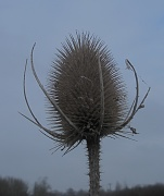 4th Jan 2010 - Teasel and Grey Sky
