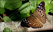 21st May 2012 - Hackberry Emperor