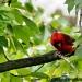 Red Bird by cdonohoue