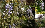 22nd May 2012 - Wisteria sinensis