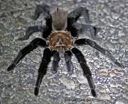 21st May 2012 - Texas Tarantula