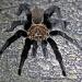 Texas Tarantula by grannysue
