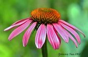22nd May 2012 - Echinacea - Coneflower