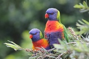 "23rd May 2012 - ""Lovely Lorikeets"""