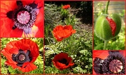 23rd May 2012 - Poppies