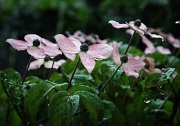 25th May 2012 - Rain Kissed Dogwood
