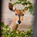 bush buck by peadar