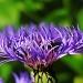 Centaurea Montana by rosiekind