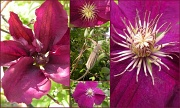 25th May 2012 - Clematis jackmanii